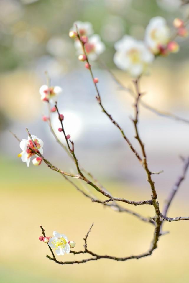 平城宮跡の梅