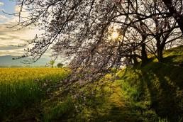 桜と菜の花@藤原宮跡2