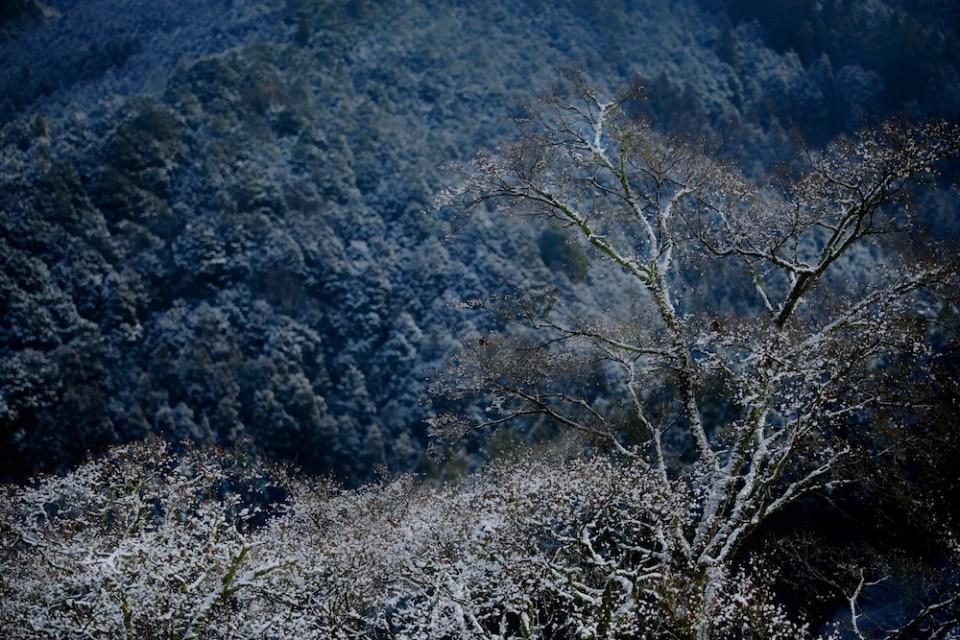 吉野山・冬に満開