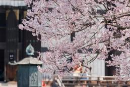 R2_04647東大寺の桜