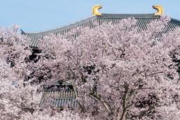 R2_04662東大寺の桜