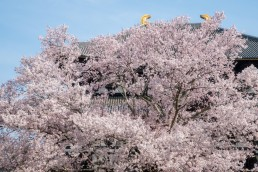 R2_04652東大寺の桜