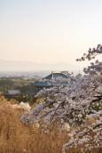 桜・大仏殿