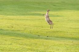 73_02797鹿の跳躍