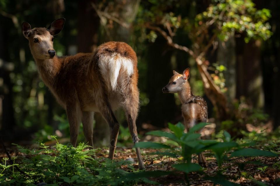 73_03938-2親子鹿