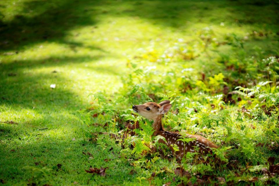 東大寺講堂跡付近の子鹿
