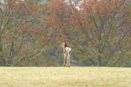 73_00888鹿・秋の入り口に