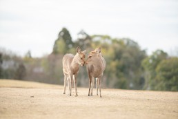 R2_00274 奈良 鹿