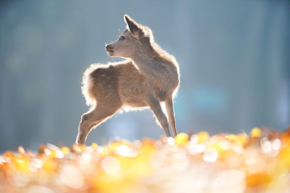 子鹿・紅葉の絨毯