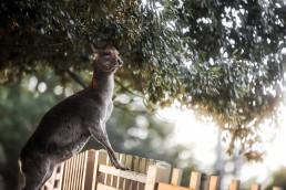 何かを見つめる鹿